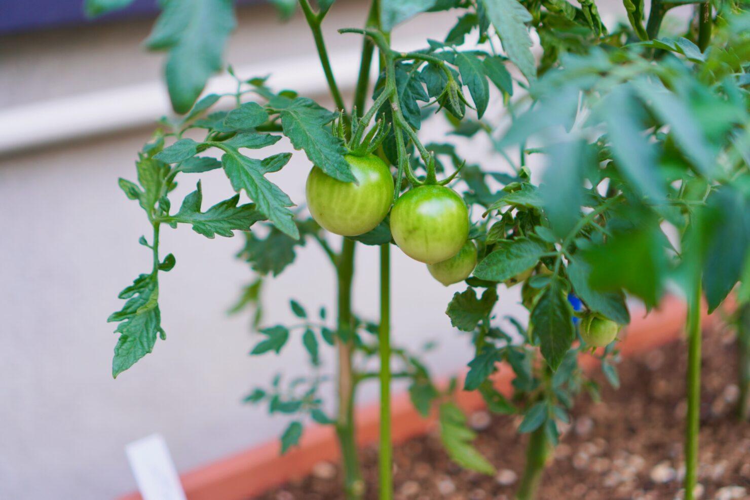 ベランダ栽培におすすめの野菜3選
